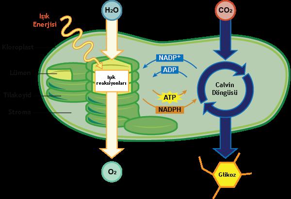 Fotosentez nedir nasıl gerçekleşir 1