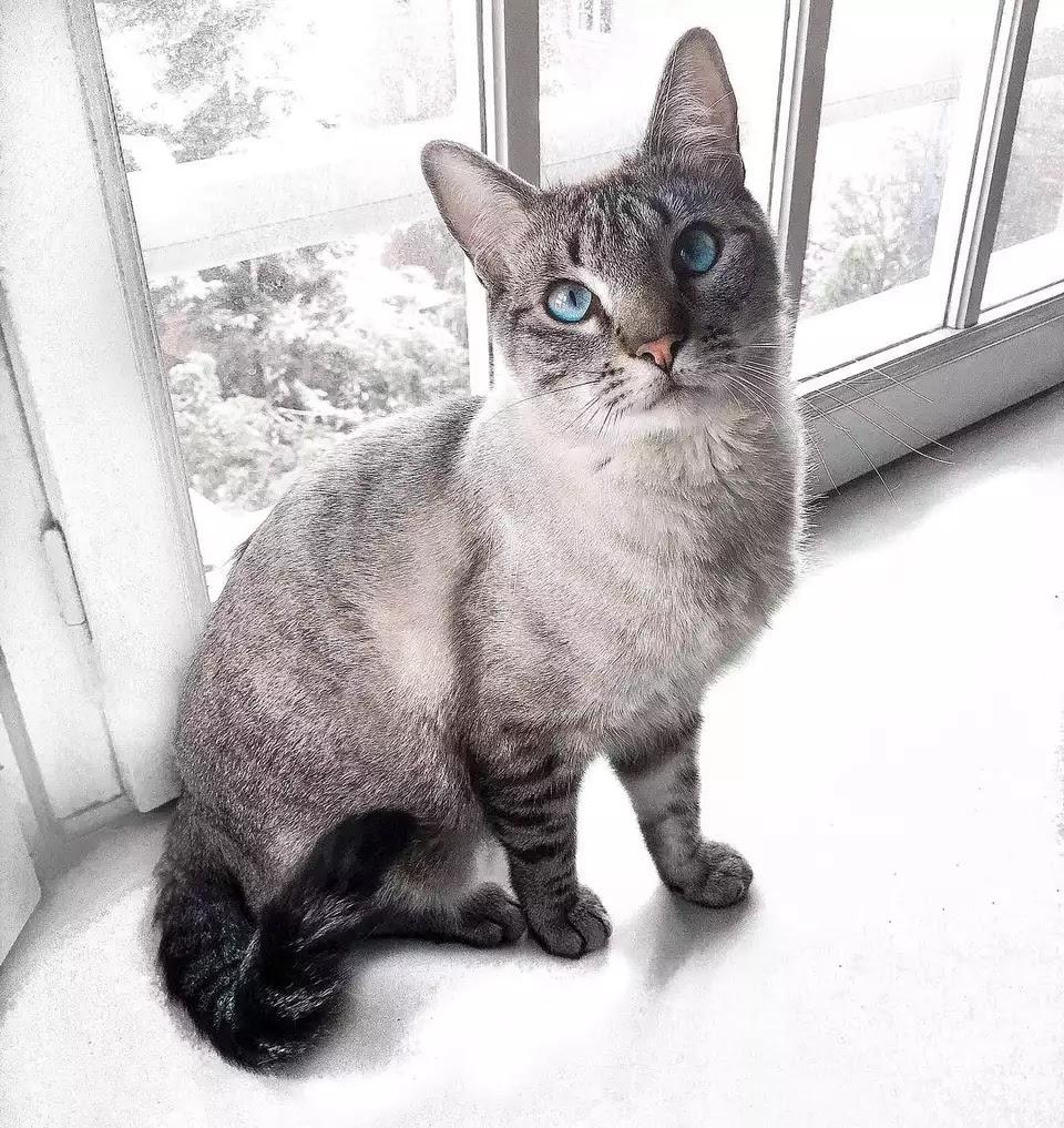 Siyam Kedileri Hakkında Her Şey 6
