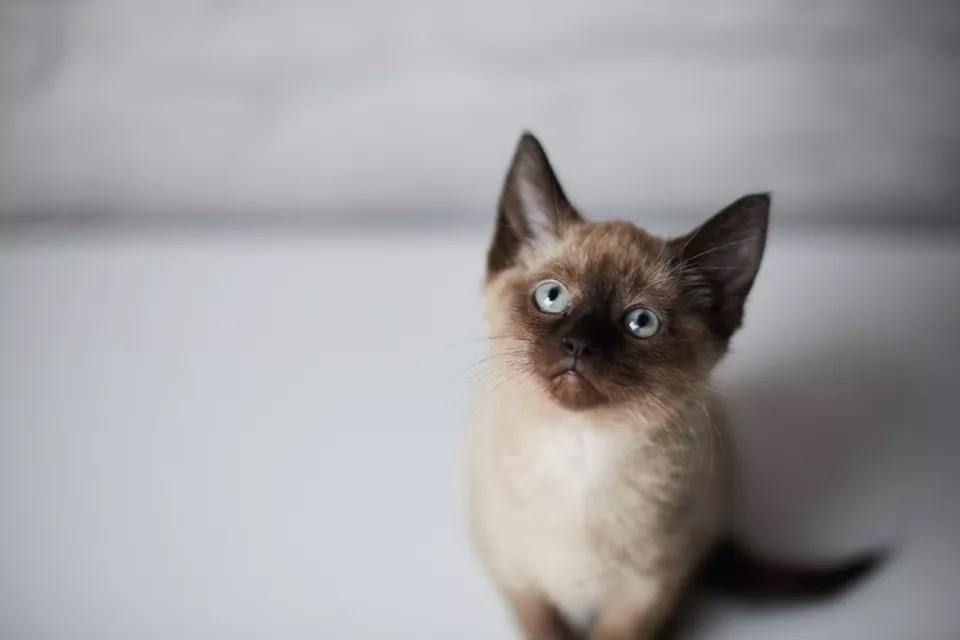 Siyam Kedileri Hakkında Her Şey 4