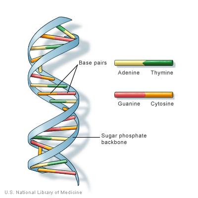 DNA nedir?DNA yapısı nasıldır?neye yarar? 1