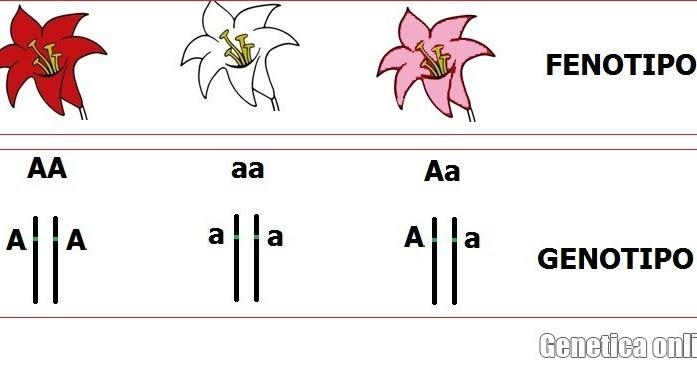 Fenotip-genotip-nedir