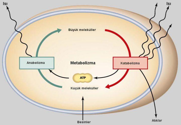 Katabolizma ve Anabolizma arasındaki fark 2