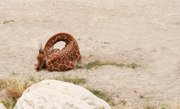 Zürafaların uyuma şekli