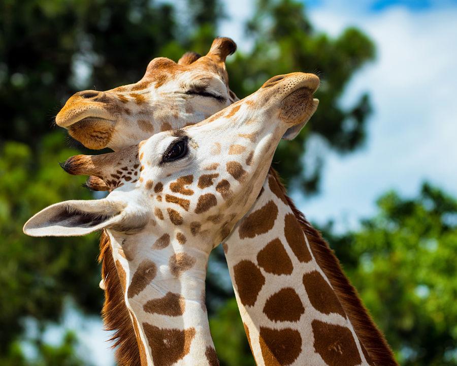 zürafalar-nasıl-uyur