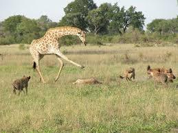 Zürafalar neden bu kadar az uyur